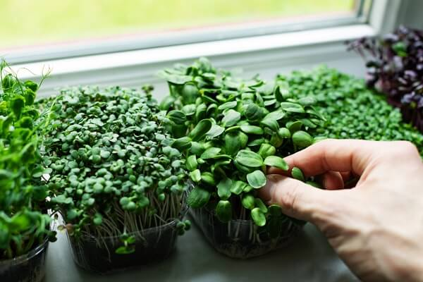 Ultimate Guide How to Grow Microgreens Indoors