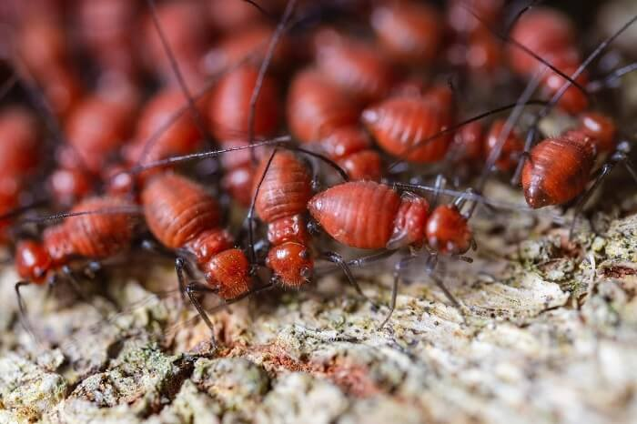 Colony of red termites