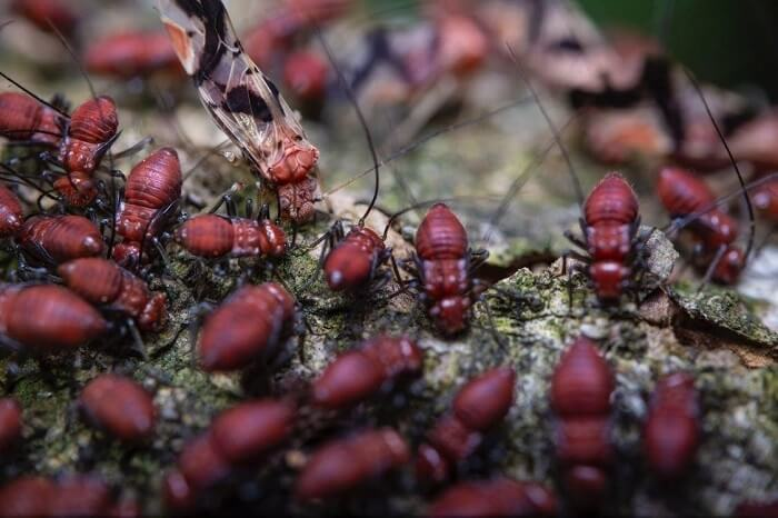 Several red termites